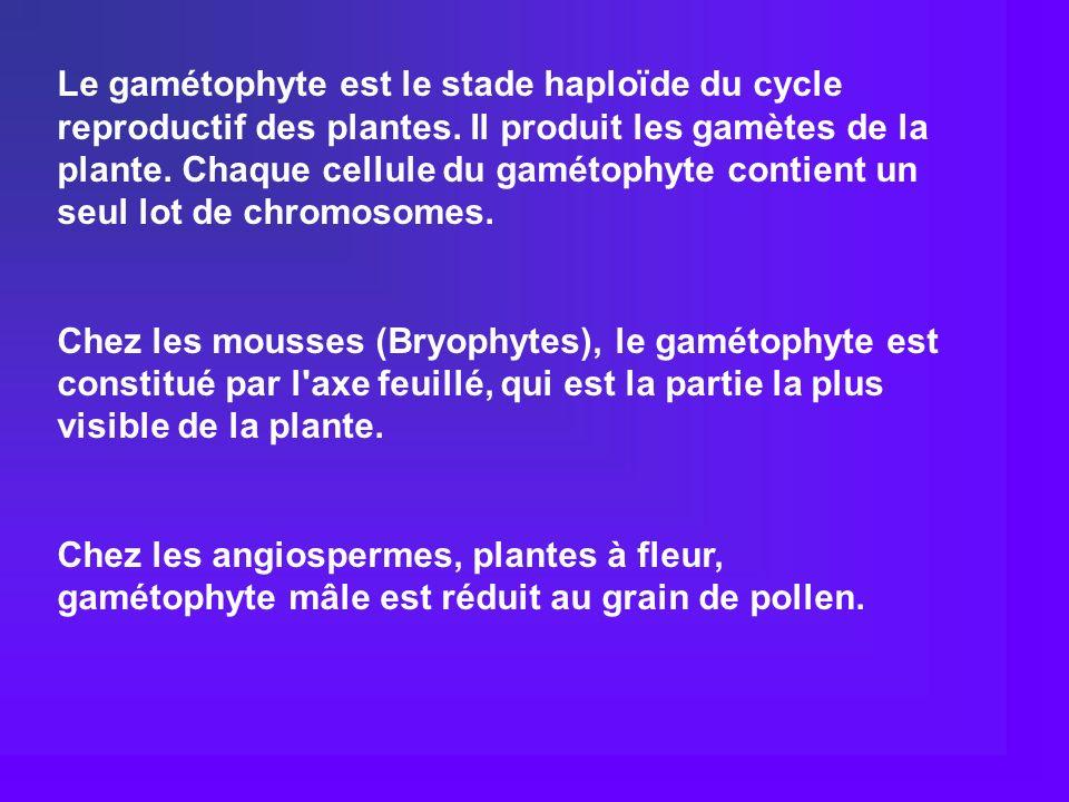 Le gamétophyte est le stade haploïde du cycle reproductif des plantes