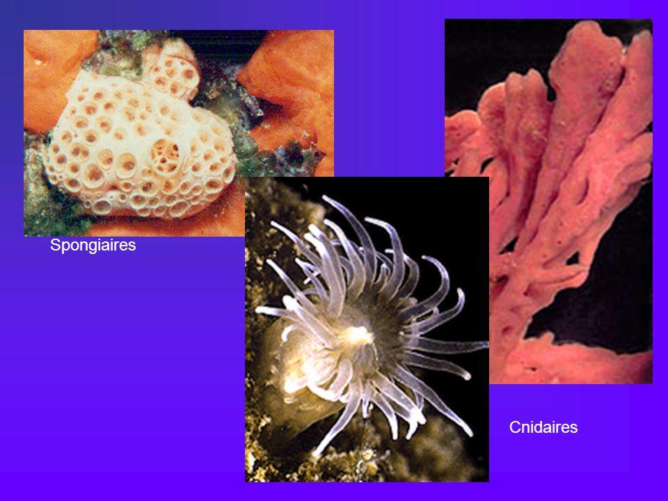 Cnidaires Spongiaires