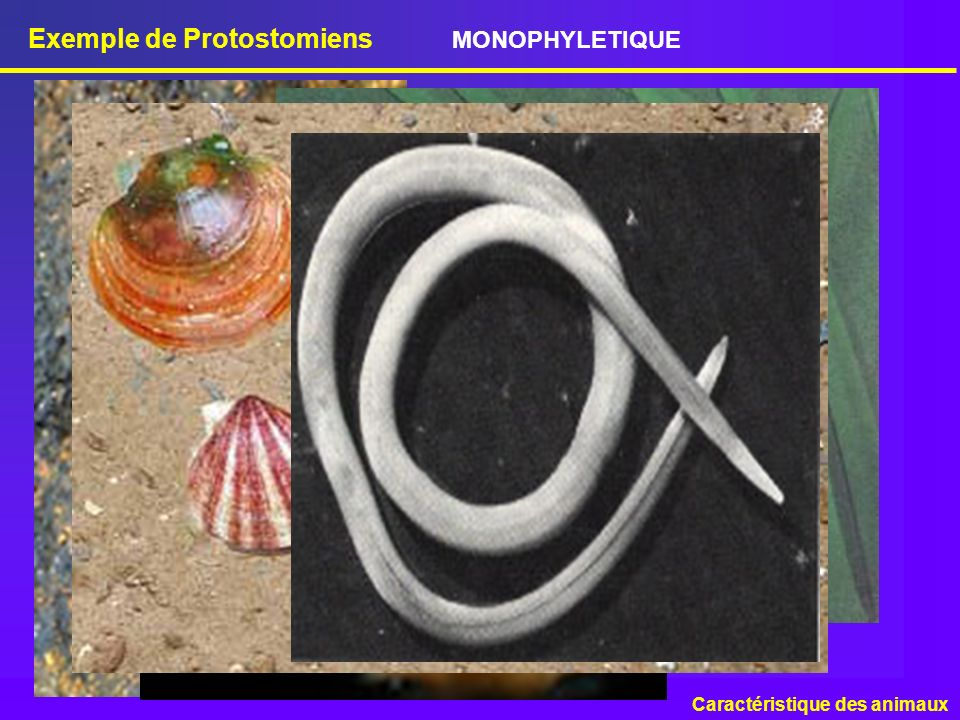 Exemple de Protostomiens