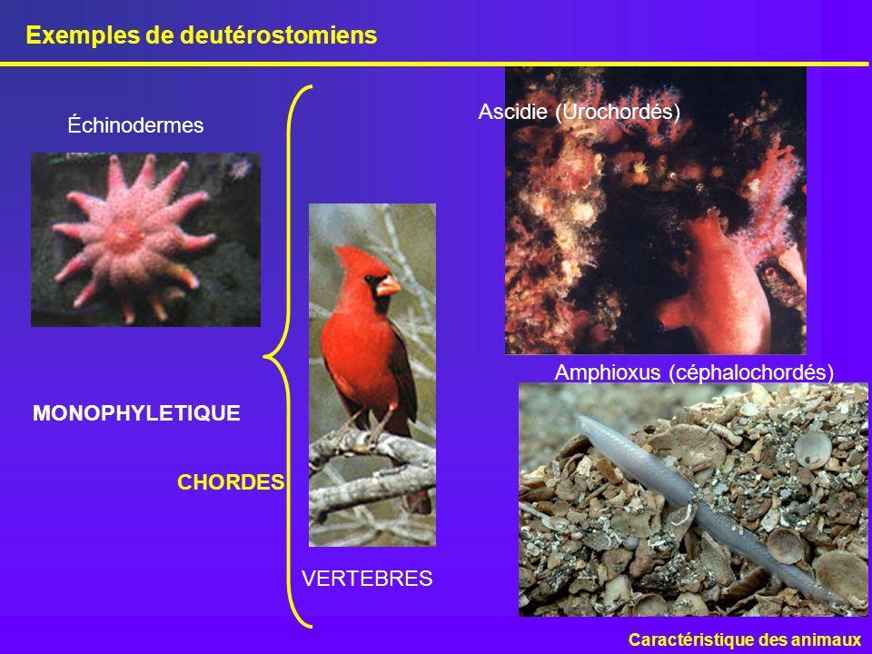 Exemples de deutérostomiens