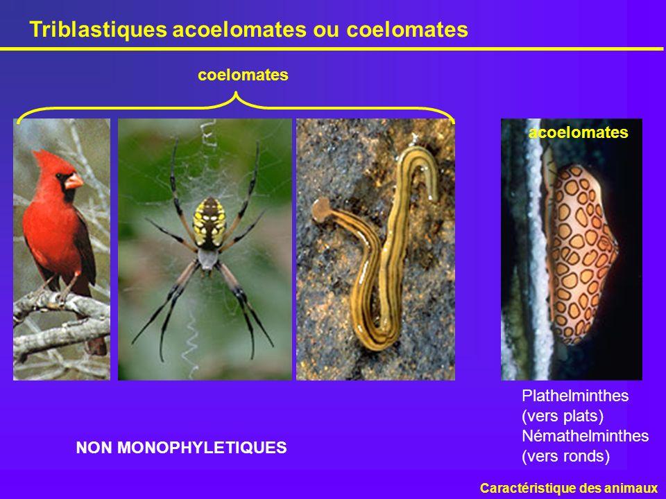 Triblastiques acoelomates ou coelomates
