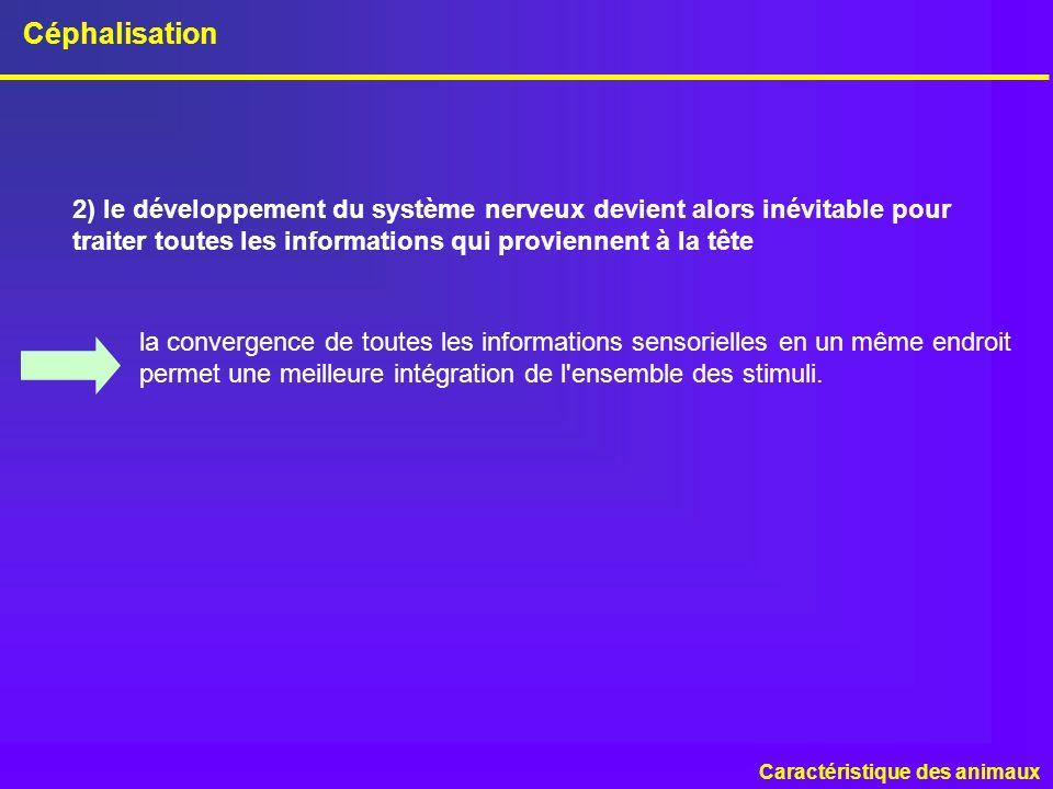 Céphalisation 2) le développement du système nerveux devient alors inévitable pour traiter toutes les informations qui proviennent à la tête.