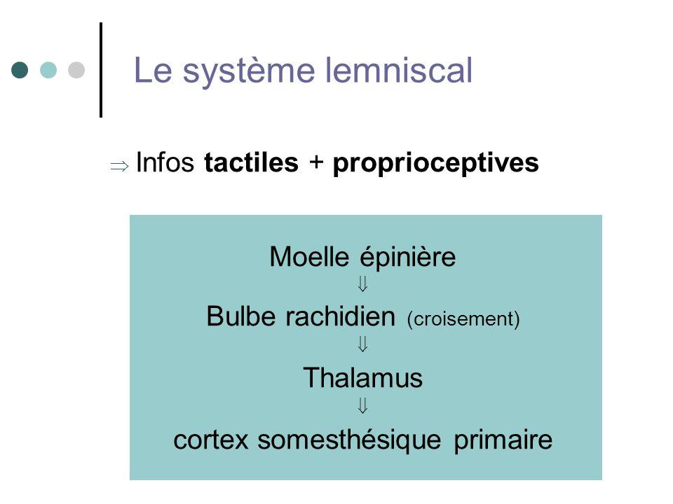 Le système lemniscal Infos tactiles + proprioceptives Moelle épinière
