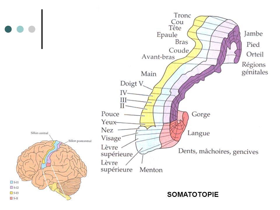 SOMATOTOPIE