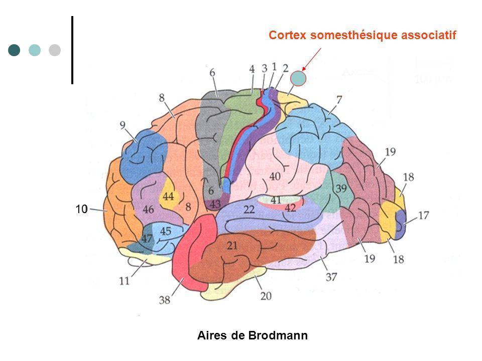 Cortex somesthésique associatif