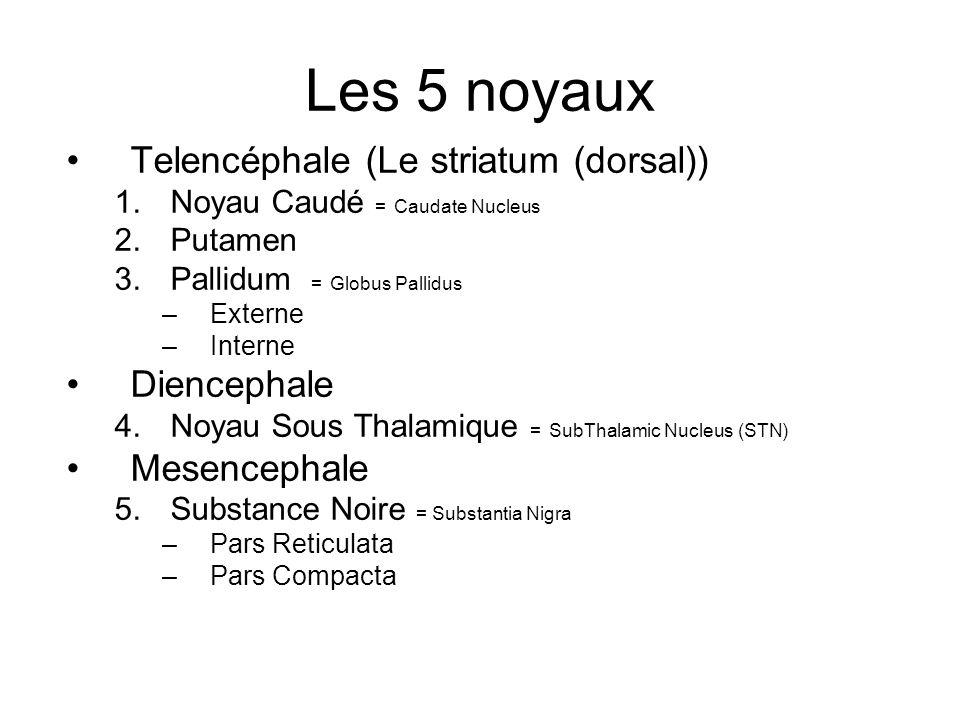 Les 5 noyaux Telencéphale (Le striatum (dorsal)) Diencephale