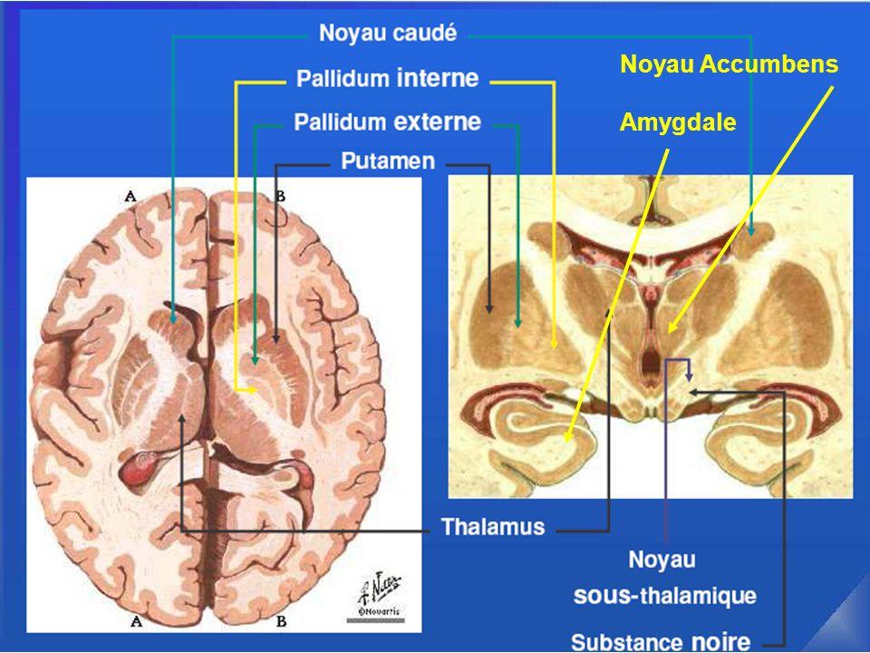Noyau Accumbens Amygdale