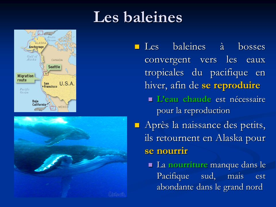 Les baleines Les baleines à bosses convergent vers les eaux tropicales du pacifique en hiver, afin de se reproduire.