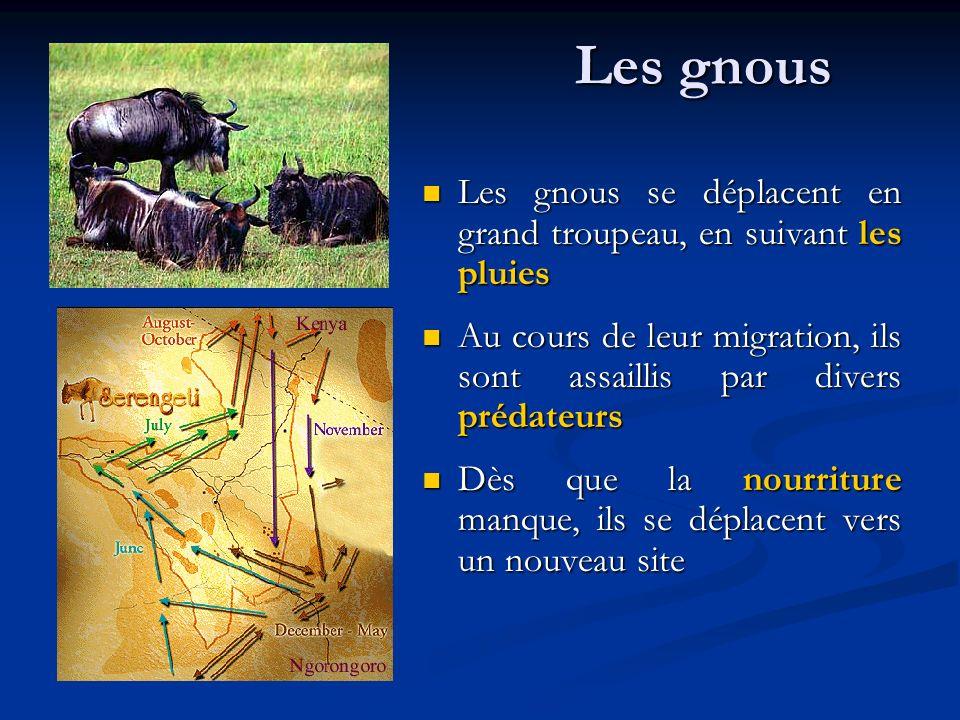 Les gnous Les gnous se déplacent en grand troupeau, en suivant les pluies. Au cours de leur migration, ils sont assaillis par divers prédateurs.