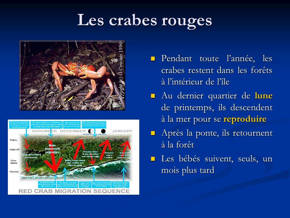 Les crabes rouges Pendant toute l'année, les crabes restent dans les forêts à l'intérieur de l'île.