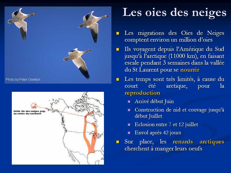 Les oies des neiges Les migrations des Oies de Neiges comptent environ un million d'oies.