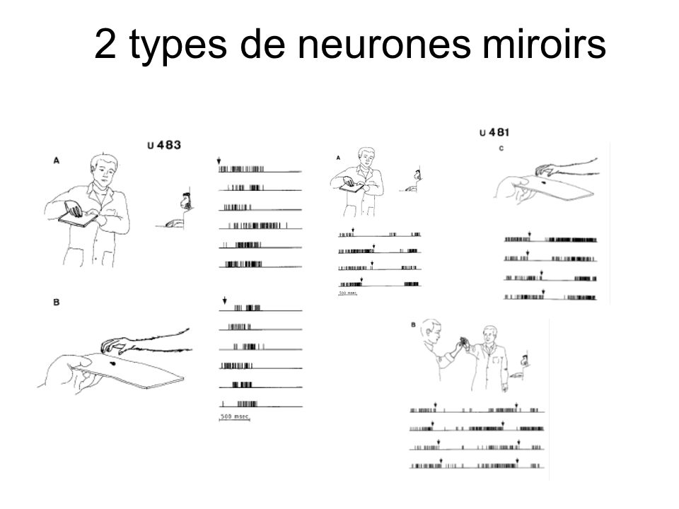 2 types de neurones miroirs