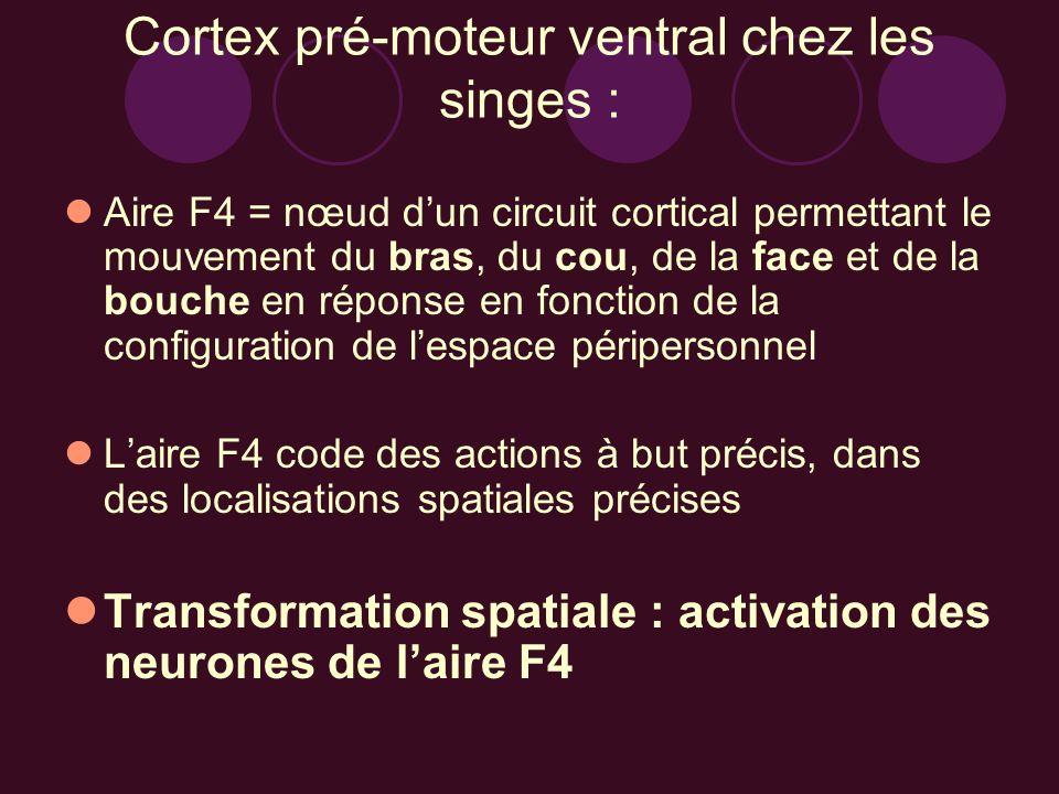 Cortex pré-moteur ventral chez les singes :