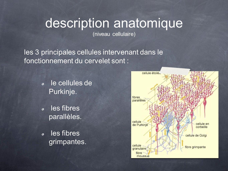 description anatomique (niveau cellulaire)