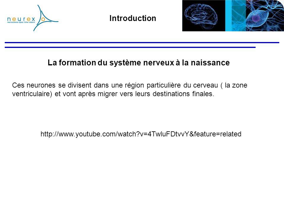La formation du système nerveux à la naissance
