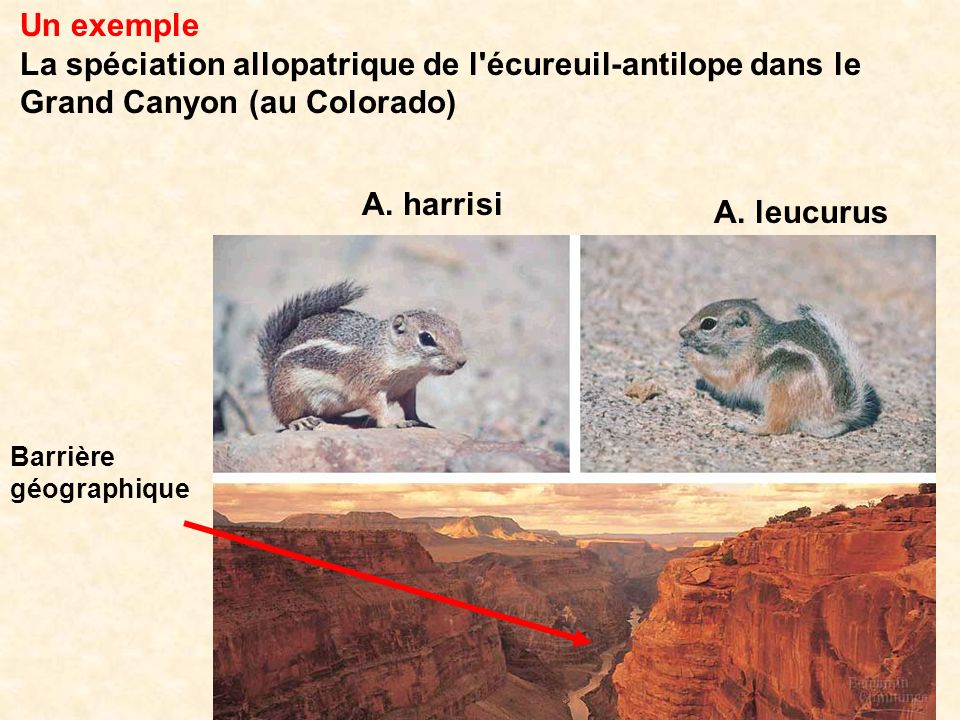 Un exemple La spéciation allopatrique de l écureuil-antilope dans le Grand Canyon (au Colorado) A. harrisi.
