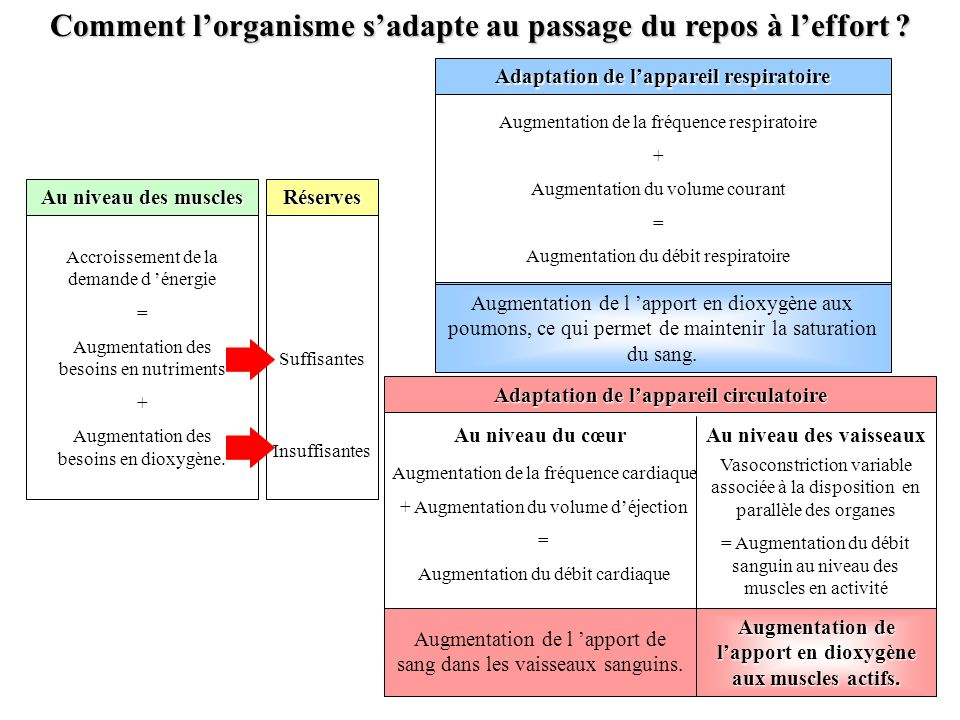 Comment l'organisme s'adapte au passage du repos à l'effort