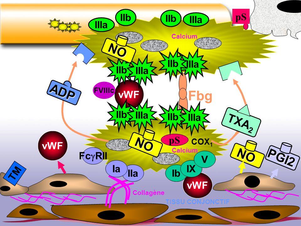 Fbg NO ADP NO NO PGI2 TXA2 IIb IIb pS IIIa IIIa IIb IIIa IIb IIIa vWF