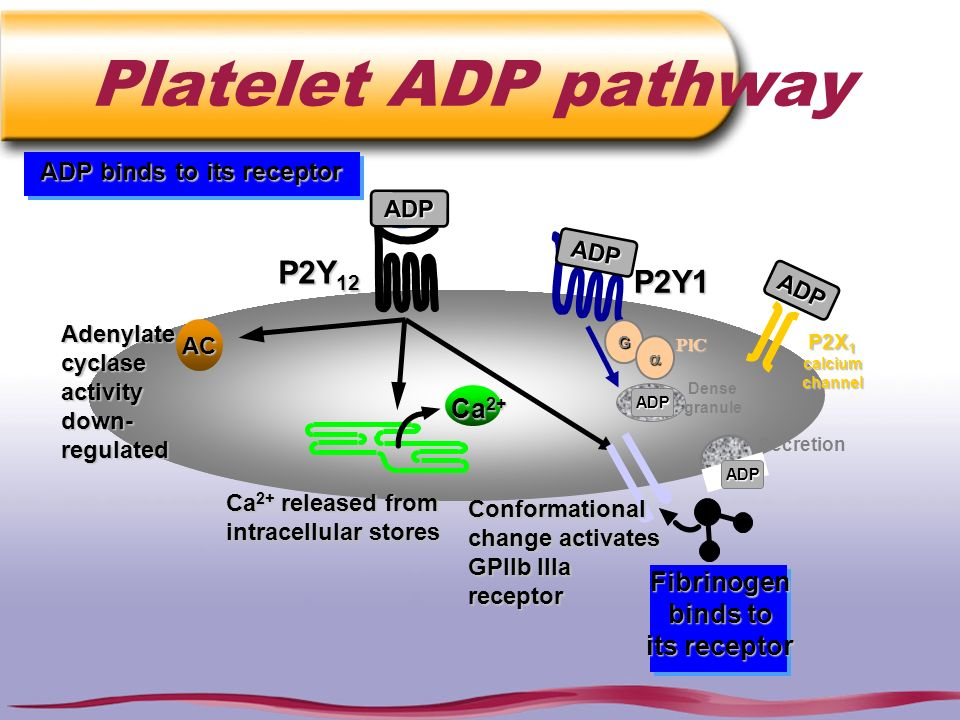ADP binds to its receptor