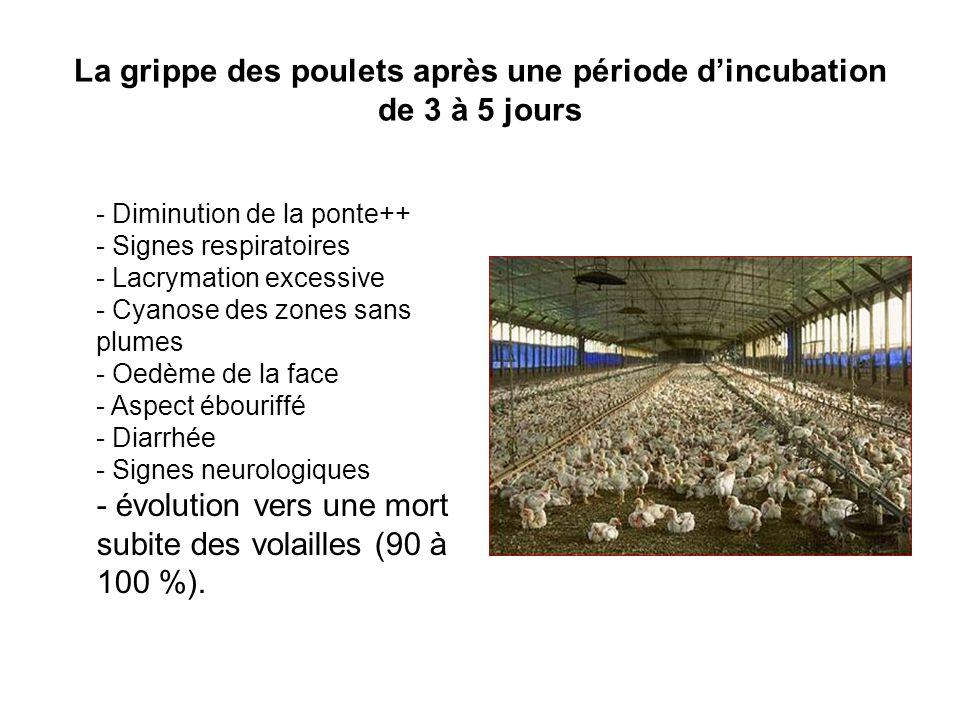 La grippe des poulets après une période d'incubation
