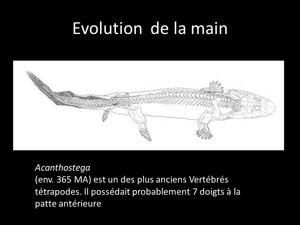 Evolution de la main Acanthostega
