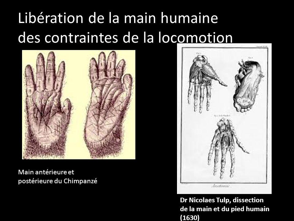 Libération de la main humaine des contraintes de la locomotion