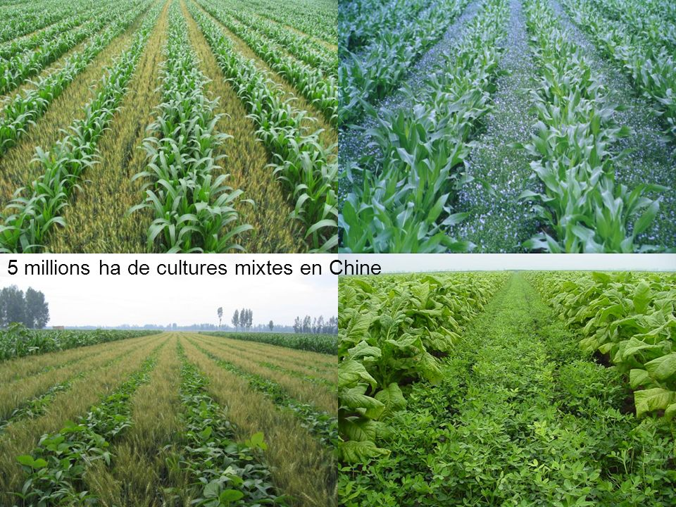 5 millions ha de cultures mixtes en Chine