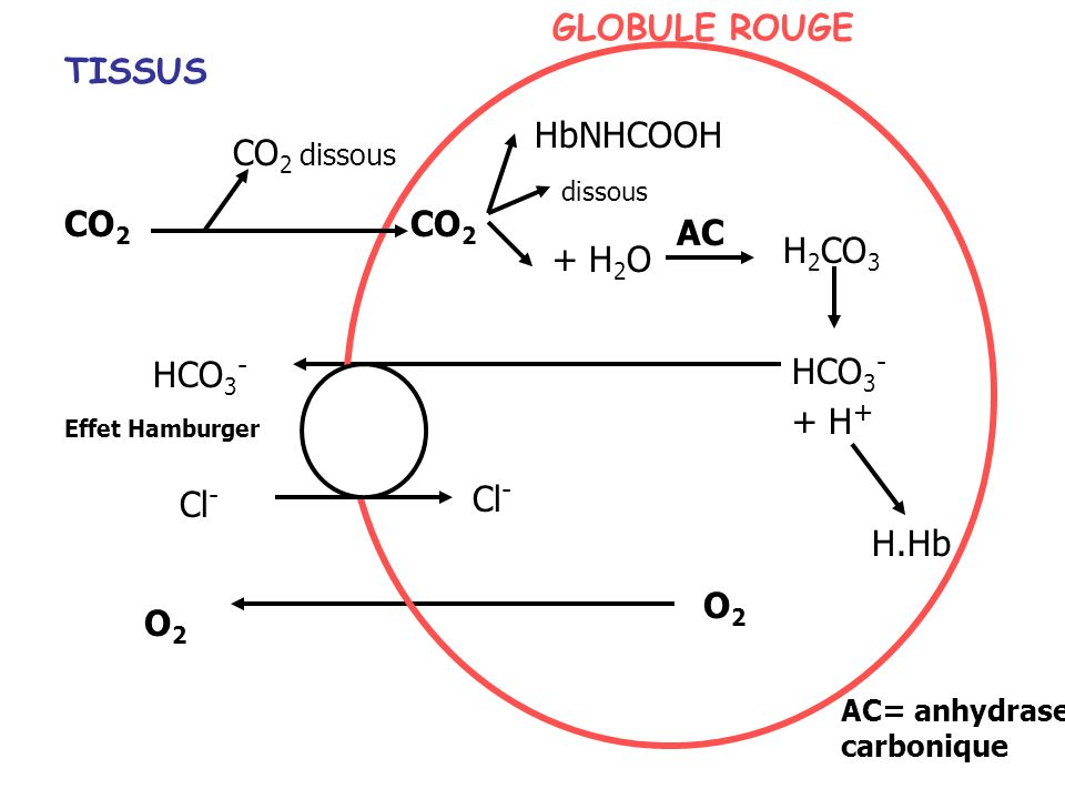 GLOBULE ROUGE TISSUS HbNHCOOH CO2 dissous CO2 CO2 AC H2CO3 + H2O