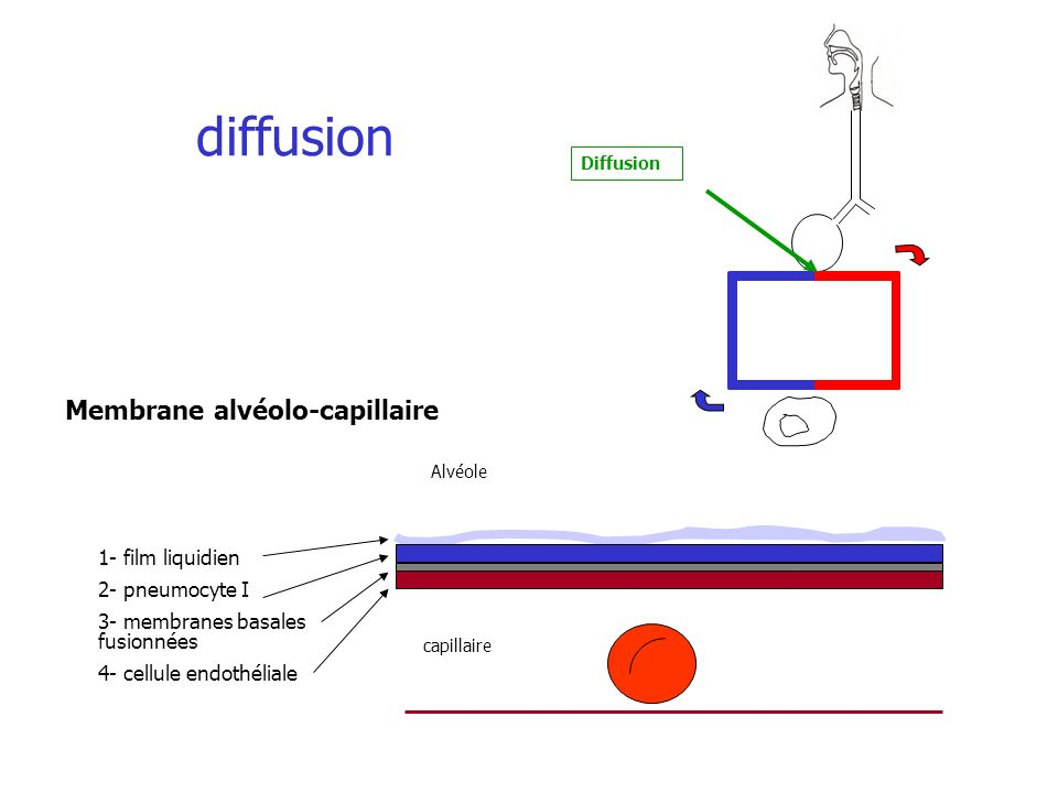 diffusion Membrane alvéolo-capillaire 1- film liquidien