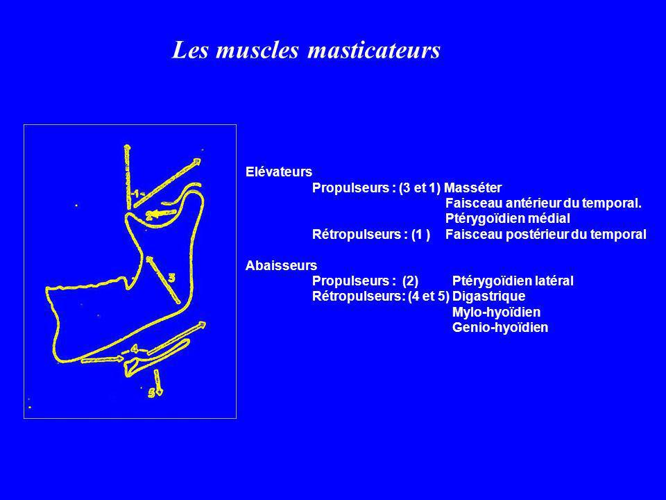 Les muscles masticateurs