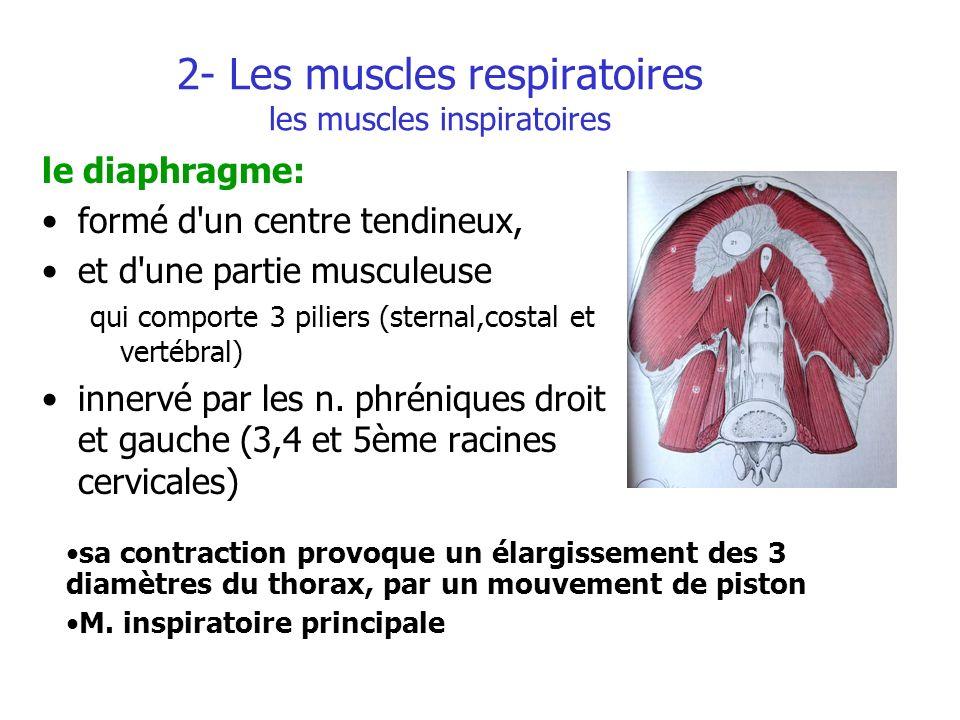 2- Les muscles respiratoires les muscles inspiratoires