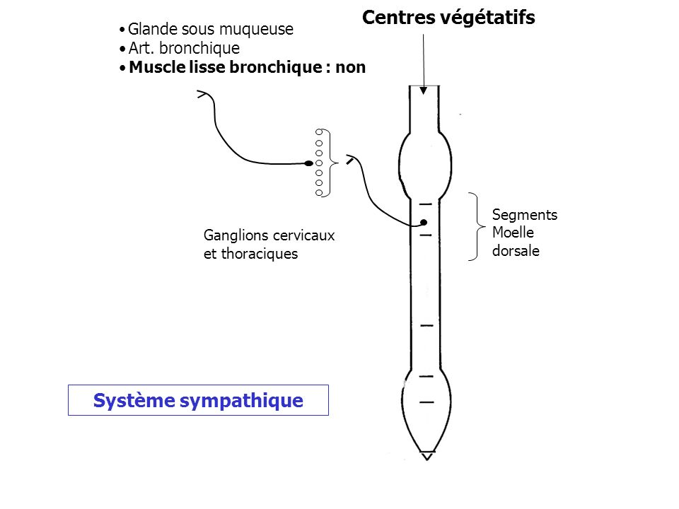Centres végétatifs Système sympathique Glande sous muqueuse •