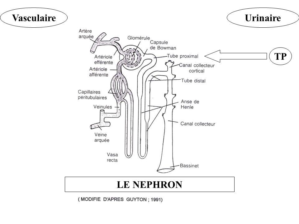 Vasculaire Urinaire TP LE NEPHRON