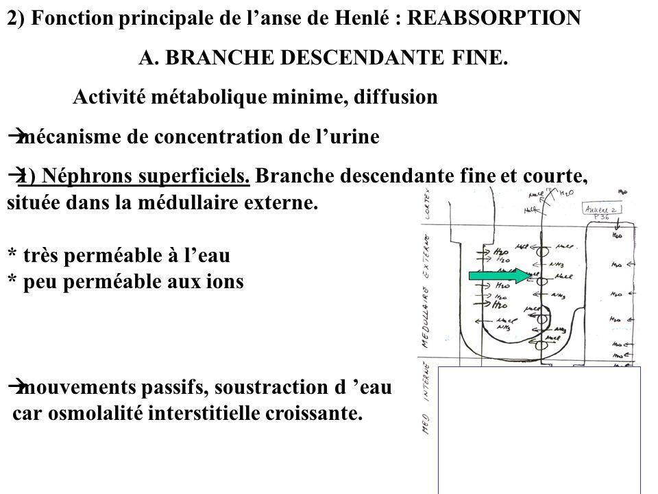 2) Fonction principale de l'anse de Henlé : REABSORPTION
