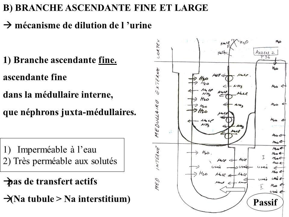 B) BRANCHE ASCENDANTE FINE ET LARGE