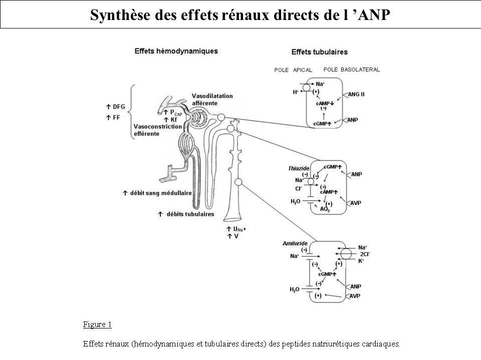 Synthèse des effets rénaux directs de l 'ANP