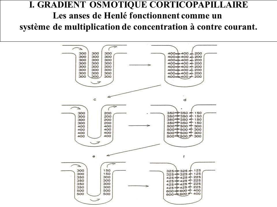 I. GRADIENT OSMOTIQUE CORTICOPAPILLAIRE