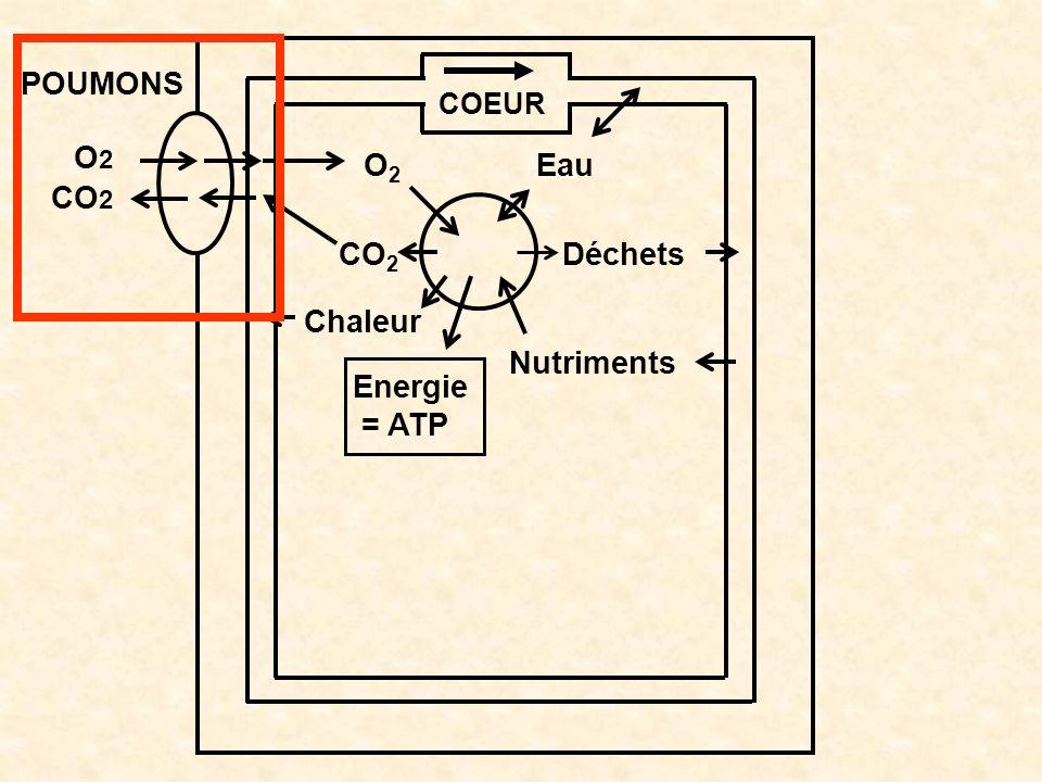O2 CO2 Chaleur Energie = ATP Nutriments Déchets Eau COEUR POUMONS