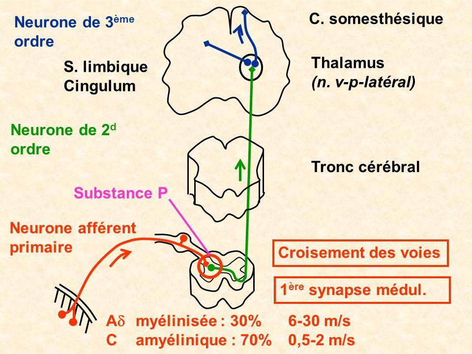 C. somesthésique Neurone de 3ème. ordre. Thalamus. (n. v-p-latéral) S. limbique. Cingulum. Neurone de 2d ordre.