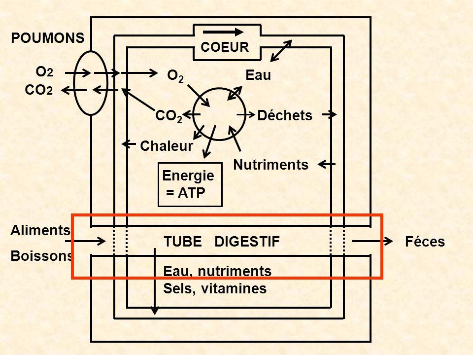O2 CO2 Chaleur Energie = ATP Nutriments Déchets Eau POUMONS Aliments