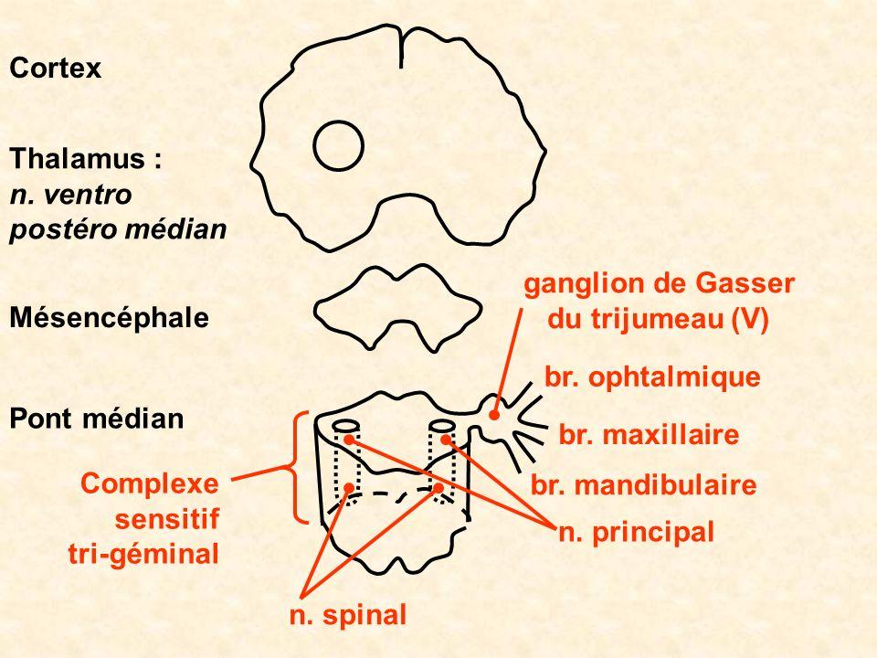 Cortex Thalamus : n. ventro postéro médian. ganglion de Gasser. du trijumeau (V) Mésencéphale. br. ophtalmique.