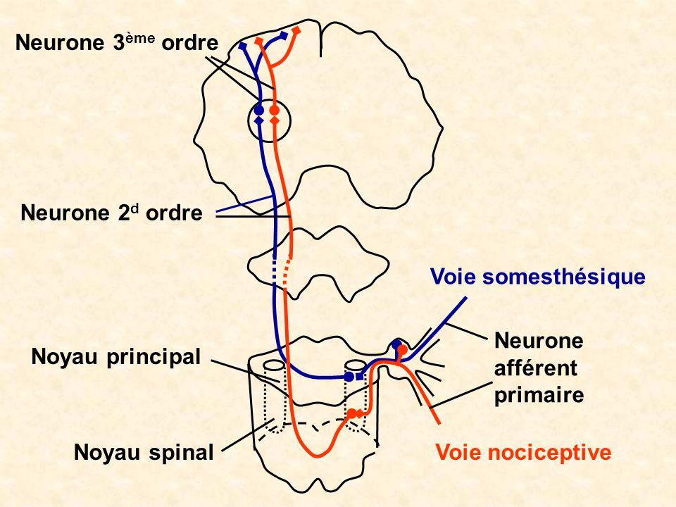 Neurone 3ème ordre Neurone 2d ordre. Voie somesthésique. Neurone afférent primaire. Noyau principal.