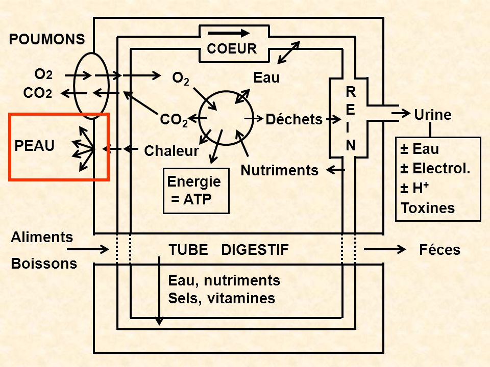 O2 CO2 Chaleur Energie = ATP Nutriments Déchets Eau POUMONS