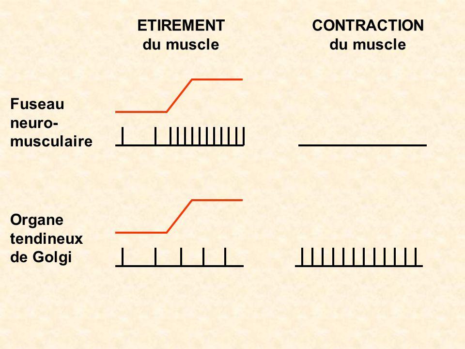 ETIREMENT du muscle CONTRACTION du muscle Fuseau neuro-musculaire Organe tendineux de Golgi