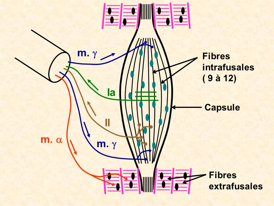 m. g Ia II m. a m. g Fibres intrafusales ( 9 à 12) Capsule