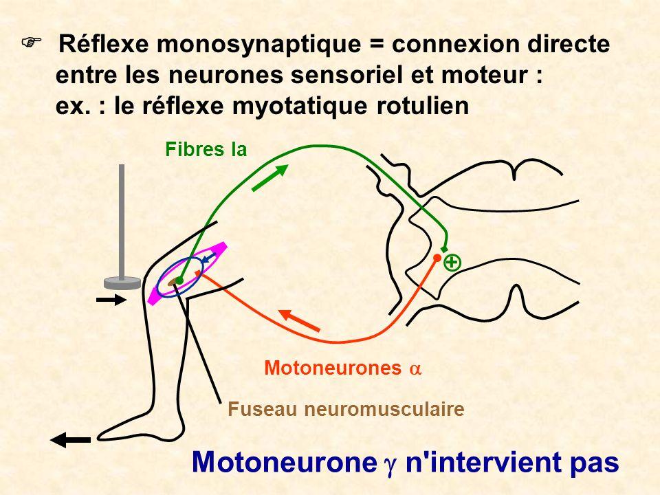 Motoneurone g n intervient pas