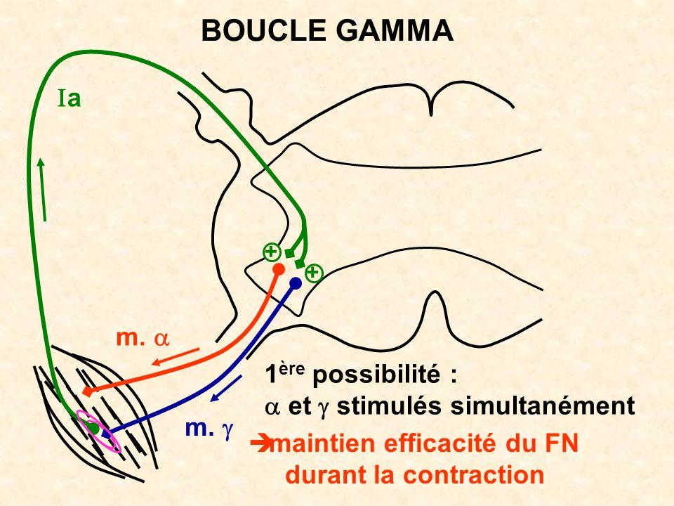 BOUCLE GAMMA Ia m. a 1ère possibilité : a et g stimulés simultanément