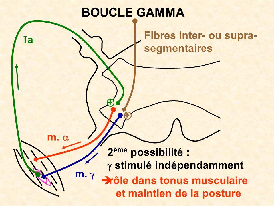 BOUCLE GAMMA Fibres inter- ou supra- segmentaires Ia m. a