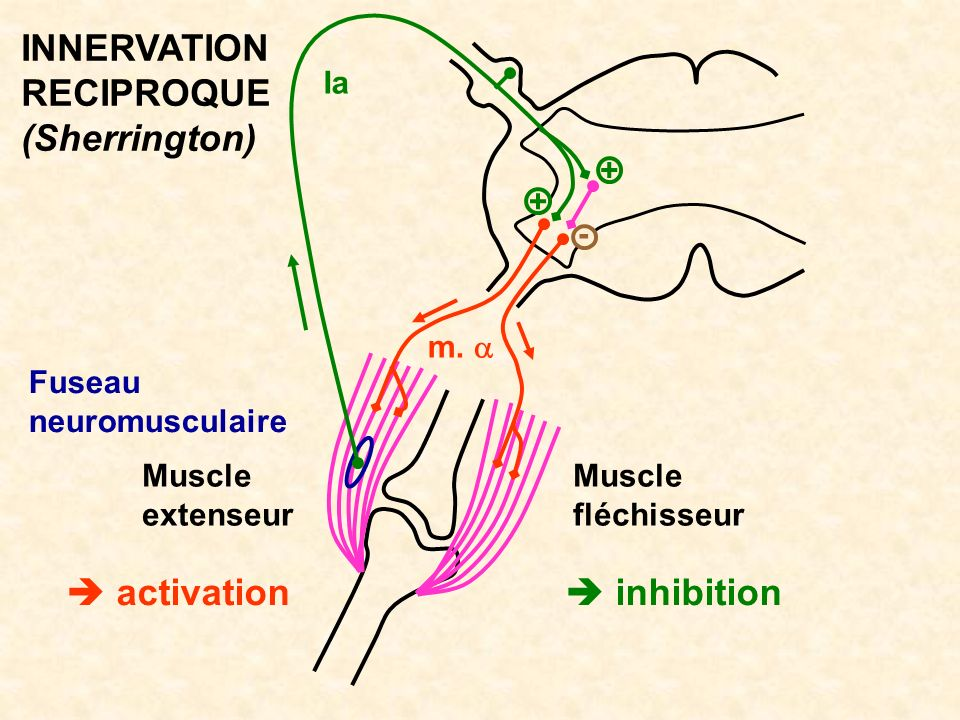 INNERVATION RECIPROQUE (Sherrington)  activation  inhibition Ia + +