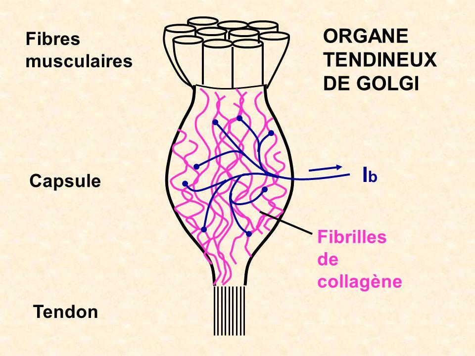 Ib ORGANE TENDINEUX DE GOLGI Fibres musculaires Capsule Fibrilles de